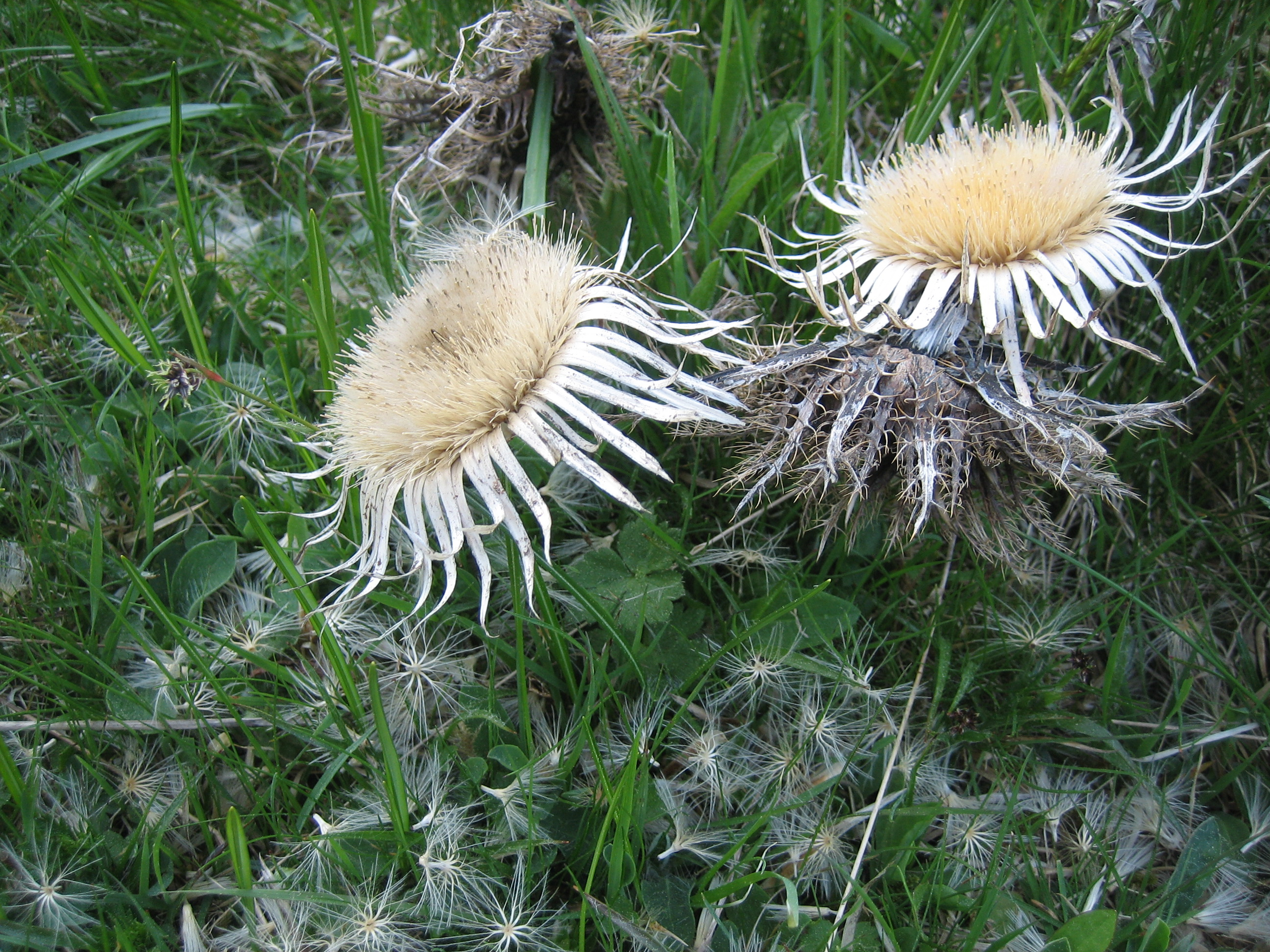 Symbol thistle – pain, protection, pride