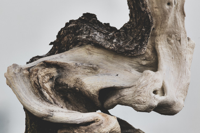 stephen-voss-photographs-bonsai-in-training-2-buttonwood-1975