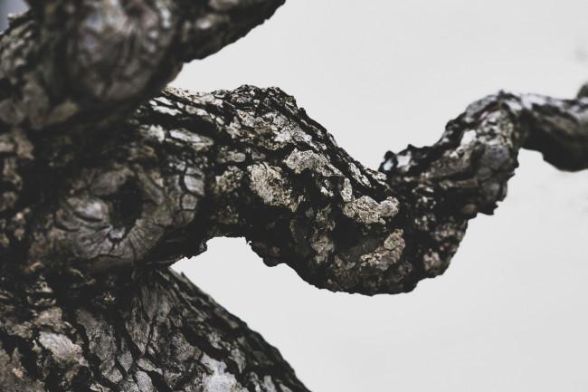 stephen-voss-photographs-bonsai-in-training-3-toringo-crab-apple-1905