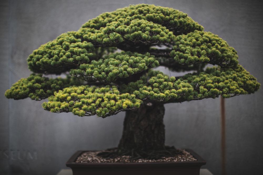 stephen-voss-photographs-bonsai-in-training-6-japanese-white-pine-1625