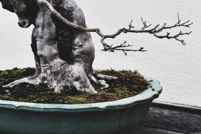 stephen-voss-photographs-bonsai-in-training-trident-maple-1918